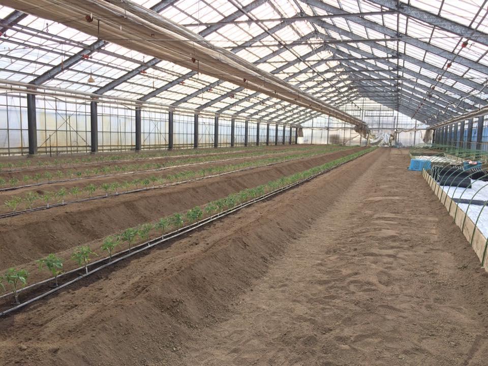 茶林農園トマト植え付け