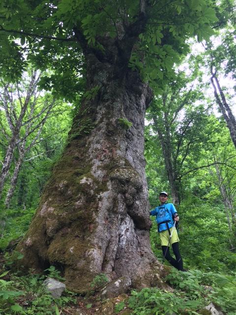 大トチの木